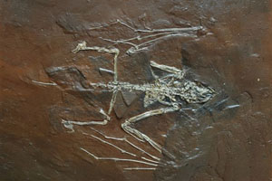 Bat fossil - Archeonycteris-trigomodon